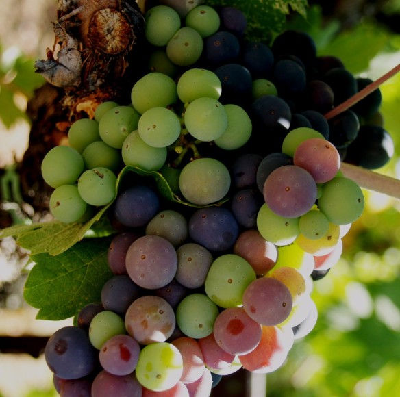 Abide in the Vine